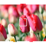 Tulips - 1 On/Off